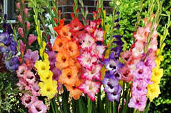 Ednie Flower Bulb - ornamentals news boost cut flower sales with dahlias lilies and
