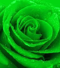 green roses 10 most beautiful green roses