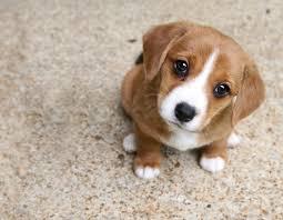 Puppy Dog Eyes Meme - 23 puppy dog eyes pictures wildlife planet