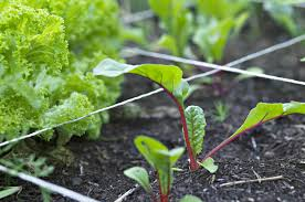 Vegetable Garden Plans Zone 7 by Vegetables And Herbs To Plant In August