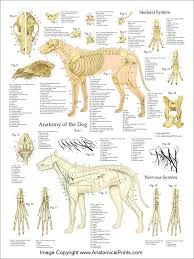 Dog Anatomy Heart Rabbit Anatomy Vet Med Pinterest Anatomy Rabbit And Animal