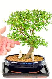 chinese elm bonsai tree ulmus parvifolia bonsai care
