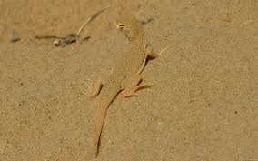 mlewallpapers com mojave fringe toed lizard