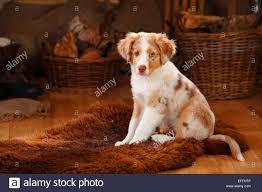 australian shepherd welpen 5 wochen miniature australian shepherd puppy red merle sitting on fur