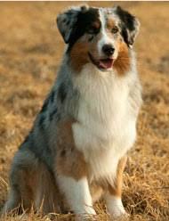65 lb australian australian shepherd australian shepherds australian shepherd dog information u0026 facts