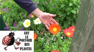 harvest seeds and native plants gardening tv how to harvest poppy seeds biennial plants youtube