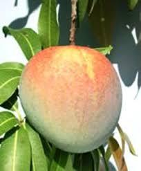 Blackmoor Fruit Trees - apple falstaff blackmoor nurseries botanical vegetables