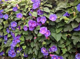 free images nature flora purple flowers creeper