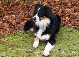 australian shepherd black and white 25 surprising australian shepherd facts you might not know