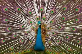 peacocks lessons tes teach