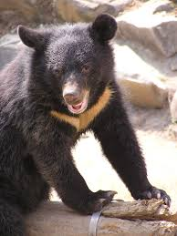 formosan black bear wikipedia