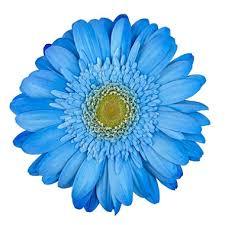 gerbera daisies gerbera daisies tinted blue 80 stems sam s club