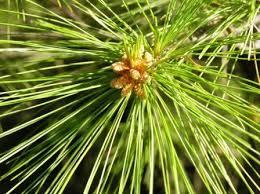 white pine tree white pine tree evergreen balsam fir fraser fir maple white