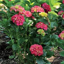 hydrangea hydrangea shrubs america u0027s favorite flowering shrub plant from