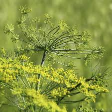 fascinating fennel how and why to forage for this botanical