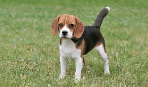 is a bluetick coonhound a good pet beagle breed information