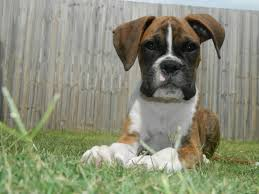 boxer dog white free images nature white sweet puppy animal cute canine