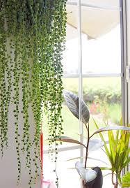 Beautiful Indoor Plants Beautiful Oversized Hanging Plants Hanging Plant Plants And Pearls