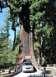 Chandelier Drive Through Tree The 5 Best Places To Visit California U0027s Giant Redwoods And Giant