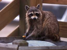 raccoon sightings on the rise in northwest philly whyy
