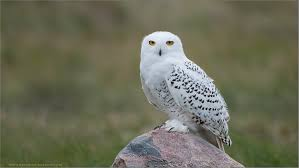 snowy owl facts for kids interesting facts about snowy owls