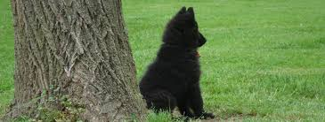 belgian sheepdog association about belgian sheepdogs bel royale belgian sheepdogs
