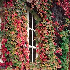 boston ivy parthenocissus