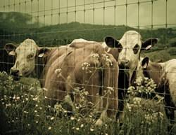 Backyard Cattle Raising Raising Cattle On Small Acreage Risks And Benefits Survivalist 101