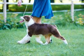 5 month australian shepherd ace puppies are 4 months old