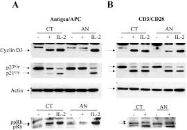 clonal anergy is maintained independently of t cell proliferation