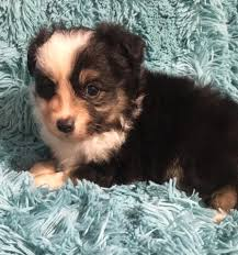 south dakota australian shepherd rescue two y ranch toy australian shepherds home facebook