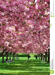 Botanical Garden In Bronx by Cherry Blossoms In New York Botanical Gardens Editorial Image