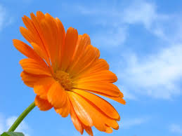 calendula flowers calendula dr weil