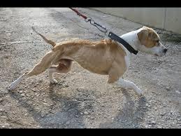 american pit bull terrier website american pit bull terrier the real bulldog youtube
