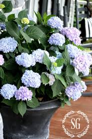 Outdoor Pots And Planters by Planting Hydrangeas In Pots And Urns Potting Soil Planting And Urn