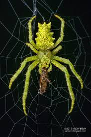 153 best spiders images on pinterest spiders beetles and bugs