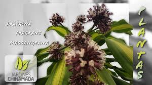 plantas dracaena fragrans massangeana youtube