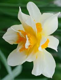 Flowers Com Coupon Code Double Daffodil Narcissus U0027insulinde U0027 Daffodils Flowers And