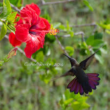 Hummingbird Flowers Jamaican Mango Hummingbird Flower Hill Farm Retreat