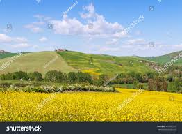 tuscan yellow beautiful yellow rapeseed field spring tuscan stock photo