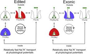a to i rna editing effects on proteins key to neural excitability