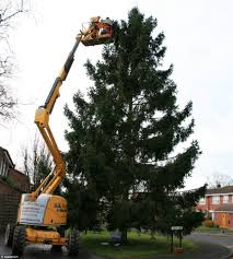 small xmas tree planted 35 years ago at family home is now 51ft