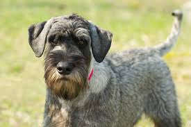 australian shepherd schnauzer mix standard schnauzer dog breed information pictures