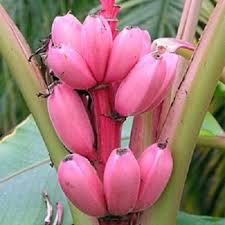 mini banana tree banana tree fruit seeds rare mini bonsai pink banana seeds musa