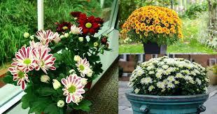 indoors garden garden mums indoors when to plant mums garden grove hospital