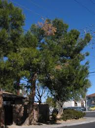 xtremehorticulture of the desert why is my pine tree so sparse