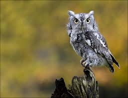 eastern screech owl facts habitat diet life cycle baby pictures