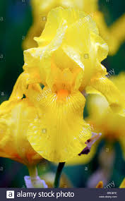 iris golden sunrise bearded iris germanica german iris rhizomatous