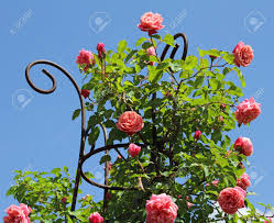 pink climbing rose isolated on sky boboli garden in florence