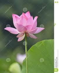 Lotus Flower Bloom - the lotus flower in full bloom stock photo image 74340072